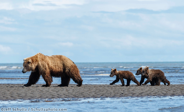 Brown Bear sow and spring cubs on Cook Inlet shoreline in Lake Clark National Park.  Silver Salmon Creek area. Western Alaska  Summer<br /> <br /> Photo by Jeff Schultz/  (C) 2020  ALL RIGHTS RESERVED