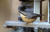 Kleiber, an der Vogelfütterung, Fütterung im Winter bei Schnee, im mit Körnern gefüllten Futterhäuschen, Vogelhäuschen, Vogelfutterhäuschen, Vogelfutterhaus, Futterhaus, Vogelhaus, Winterfütterung, Spechtmeise, Sitta europaea, Eurasian nuthatch