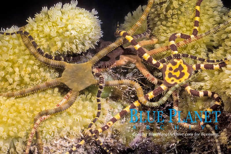 Reticulated brittle stars, Ophionereis reticulata, in mass reproduction at night on Belize barrier reef.