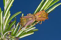 Rote Schildwanze, Mittelmeer-Schildwanze, Paarung, Kopulation, Kopula, Carpocoris mediterraneus, Red shield bug, Red Shieldbug, pairing, Le pentatome méridional
