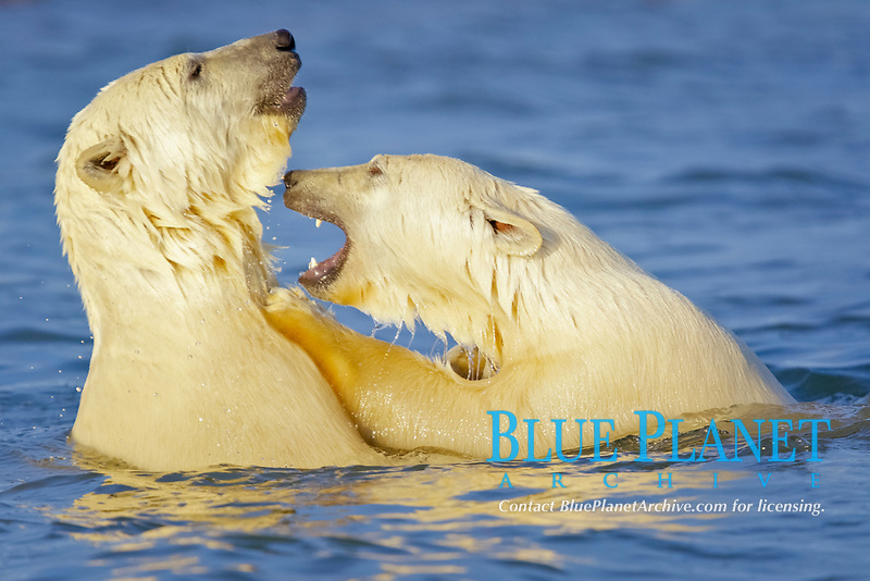 polar bear cubs, Ursus maritimus, playing, Arctic National Wildlife Refuge, Alaska, Arctic Ocean, polar bear, Ursus maritimus