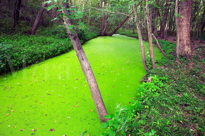 Sond covered with duckweed, Red Cedar Wildlife Area, Iow
