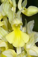 Blasses Knabenkraut, Bleiches Knabenkraut, Orchis pallens, Pale orchid, L'Orchis pâle