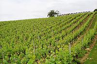 Vineyard. Clos de l'Echo. Cabernet Franc. Domaine Couly Dutheil, Chinon, Loire, France