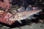 Atlantic Cod juvenile swimming left