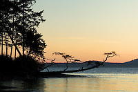 Shoreline tree leaning out over water at sunset, Washington Park, Fidalgo Island, Skagit County, Washington, USA