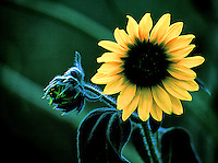A close-up of a sunflower backlit by the rising sun.