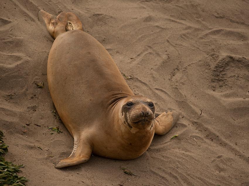Elephant Seals at a Colony in Big Sur.
