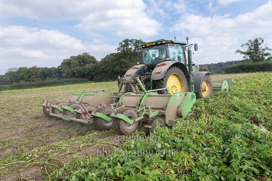 Flailing potatoes ready for harvest - Norfolk, September