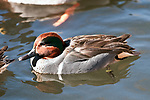 Green-winged teal swimming left.