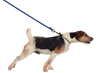Dog on a leash.