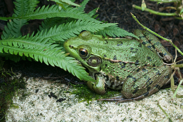 Green frog, Rana clamitans, native American amphibian animal, wildlife, in northeastern United States, Pennsylvania, distinctive and large tympanum