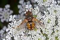 Igelfliege, Raupenfliege, Tachina fera, Tachinid Fly, parasitic fly, la Tachinaire sauvage, Tachinidae, Raupenfliegen, Igelfliegen, Schmarotzerfliegen, tachinids, parasitic flies