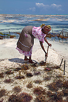 "Jambiani, Zanzibar, Tanzania.  Woman Planting Seaweed, to export to Asian markets.  Women can work their plots only at low tide.  Three weeks after planting the seaweed will be ready to harvest.  Women receive about twelve cents per kilo, ""thin and dried."""