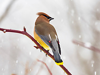 cedar waxwing, Bombycilla cedrorum in winter in snow, Nova Scotia, Canada