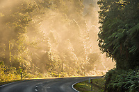 Road through rainforest in morning fog after sunrise, West Coast, Westland Tai Poutini National Park, UNESCO World Heritage Area, South Westland, New Zealand, NZ