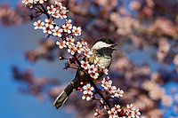 Black-capped Chickadee singing in flowering plum tree.  Pacific NW. April.