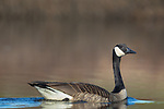 Canada goose swimming in a northern Wisconsin lake.
