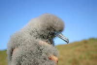 Wedge-tailed Shearwater Chick on the New South Wales South Coast and Coastal Island bird surveys