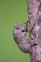 Cicada (Tibicen resh), larvae on tree trunk, Sinton, Corpus Christi, Coastal Bend, Texas, USA