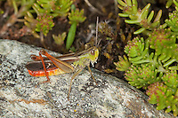 Heide-Grashüpfer, Heidegrashüpfer, Männchen, Liniierter Grashüpfer, Panzers Grashüpfer, Stenobothrus lineatus, stripe winged grasshopper, stripe-winged grasshopper, lined grasshopper