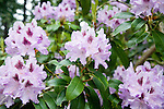 Detail shot of full heads of perfect, pale purple rhododendron blooms with deep purple accents covering a rhodie shrub at the Dunn Gardens, a former private estate near Seattle now run as a woodland botanical garden and available for touring by appointment and fee.