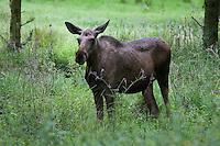 Elch, Weibchen, Kuh, Alces alces, elk, moose
