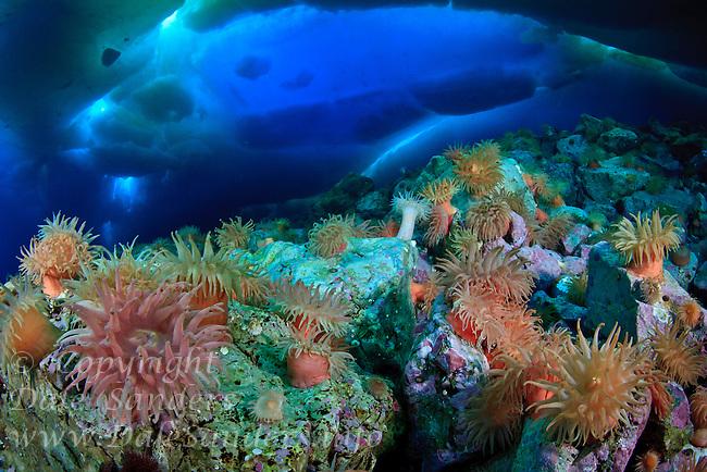A colorful garden of anemones decorates the rocky seafloor beneath arctic ice off northern Baffin Island, Nunuvat, Canada.