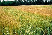 HS63-025z  Spring Polk Hard Red Wheat - Triticum aestivum