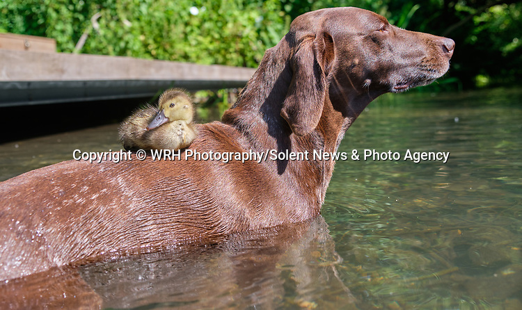 """Pictured:  The duckling sat on Meg the dog's back as they keep cool in a stream in Winchester, Hants.<br /> <br /> BIRD BRAIN.....A duckling sits on top of a dog in a cute series of images showing the pair out enjoying the sunny weather in Winchester, Hants.<br /> <br /> The German pointer called Meg has become used to the duckling's presence after her owner spotted an abandoned egg close to a path while out walking.  Will Hall from Wincheter took it home to keep it warm where he was able to hatch the duckling.<br /> <br /> Will, Meg's owner said: """"I'm thrilled that the dog and the duckling are getting along. To start with Meg was scared of the duckling and would just run away as soon as it came near her. So the fact that she is now letting it be around her is a big relief.  She would never go for it, or attack it in anyway.""""<br /> <br /> Please byline: WRH Photography/Solent News<br /> <br /> © WRH Photography/Solent News & Photo Agency<br /> UK +44 (0) 2380 458800"""