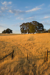 Wire gate and oaks, cattle pasture at sundown in the Sierra Nevada Foothills of Amador County, Calif.
