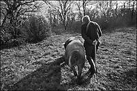 Europe/France/Aquitaine/24/Dordogne/Env de Mareuil: Cavage, recherche de la Truffe avec Mr Chaume et sa truie : Nini