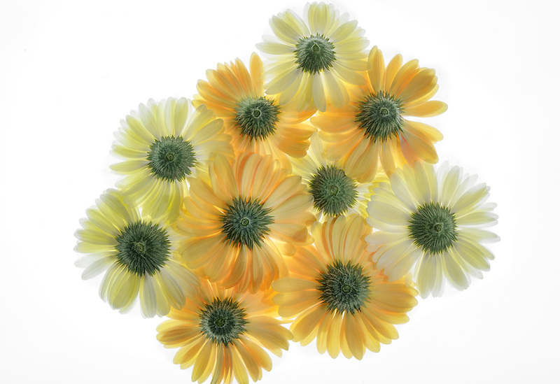 Gerbera flowers close up. Oregon