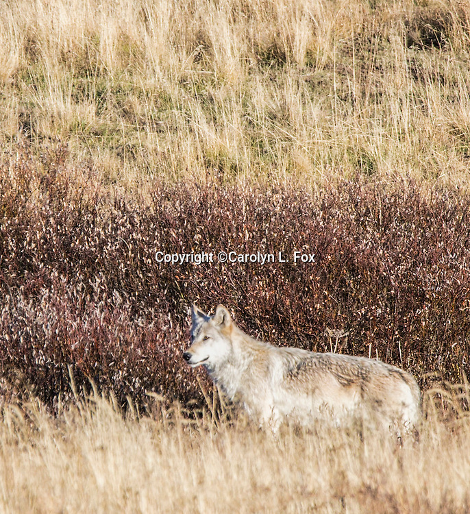 A wolf walks trhough weeds in Yellowstone.