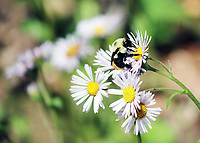 Free nature stock image - A big bumble bee sits on a Robin's Plantain wildflower in the Spring at the Porter's creek trail, at the great smoky mountain national park.