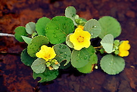 Ilima (Sida fallax) is a native low growing shrub, the flowers are often used in lei making, Kahoolawe