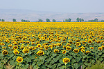 cultivated sunflowers in eastern montana field