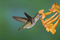 Costa's Hummingbird, Calypte costae, young male in flight feeding on  Yellow Trumpet Flower(Tecoma stans),Tucson, Arizona, USA, September 2006