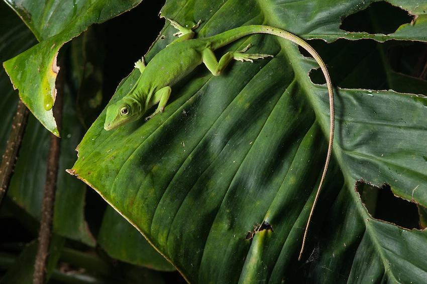 Neotropical green anole (Anolis biporcatus)- Siquirres, Costa Rica.