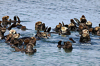 A raft of sea otters, Enhydra lutris nereis, is watching and alert for any perceived danger @ Moss Landing @ the Monterey Bay National Marine Sanctuary.