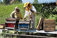 Switzerland. Canton Ticino. Rovio. Castello di Duragno. Alberto Bianchi ( dressed in white) is a beekeeper and an organic farmer (with the label Bio Suisse). He stands in the meadows with his assistant Joao from Portugal. Both are checking the honeycombs in the hives, the health of the bees and the quantity of honey. Beekeeping (or apiculture) is the maintenance of honey bee colonies, commonly in hives, by humans. A beekeeper (or apiarist) keeps bees in order to collect honey and other products of the hive (including beeswax, propolis, pollen, and royal jelly). The honey is produced from the woods Robinia pseudoacacia, commonly known as the Black Locust, a tree in the subfamily Faboideae of the pea family Fabaceae. A less frequently used common name is False Acacia, which is a literal translation of the specific epithet. 30.05.12 © 2012 Didier Ruef