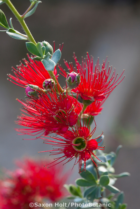 Kunzea pulchella, red flowering  Granite Kunzea shrub at Australian Native Plant Nursery, Ventura, California