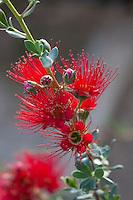 Kunzea pulchella, red flowering  Granite Kunzea shrub at Australian Native Plant Nursery, Ventura, California
