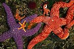 Ochre sea star, blood star, and purple sea urchin, Point Lobos State Reserve, California
