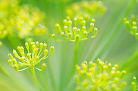 Dill blossoms close up, Yarmouth Community garden, ME