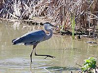 0829-0902  Great Blue Heron in Wading in Marsh, Ardea herodias © David Kuhn/Dwight Kuhn Photography