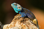 Blue-headed Tree Agama (Acanthocercus atricollis) male in breeding coloration, Kibale National Park, western Uganda