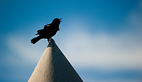 Red-Winged Blackbird atop monument at Gettysburg.