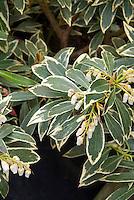 Pieris 'Flaming Silver' AGM variegated Japanese Andromeda shrub flowers and foliage