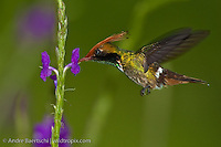 Rufous-crested Coquette (Lophornis delattrei), male feeding at a flowering shrub in lower montane rainforest, Manu National Park, Madre de Dios, Peru.